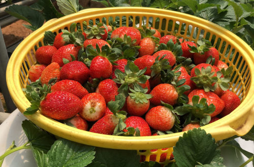 a basket full of red strawberry